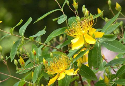St. John's Wort Extract Powder